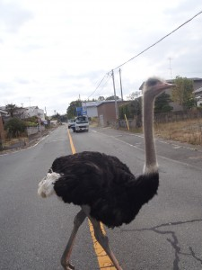 Another photo of the now famous Fukushima ostrich (2011) photo: Naoto Matsumura