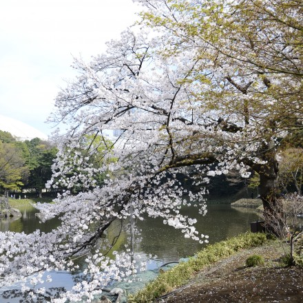 Cherry blossom tree next to a pond at Koishikawa Korakuen