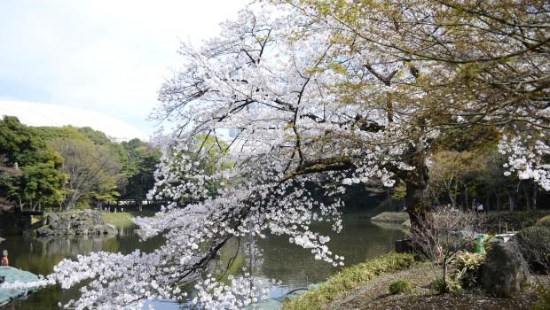 Cherry blossom tree next to a pond at Koishikawa Korakuen