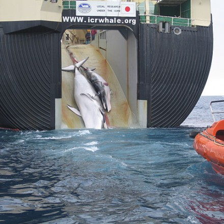 Japan_Factory_Ship_Nisshin_Maru_Whaling_Mother_and_Calf