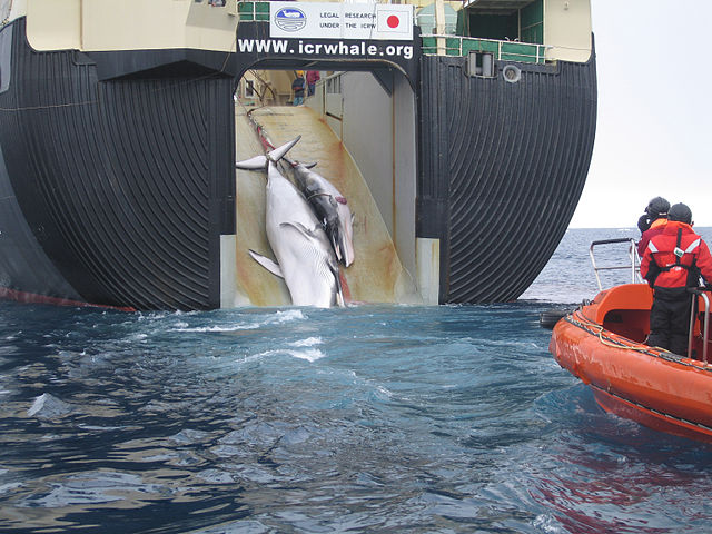 Japan on the whale path again; kills 30 minke in latest hunt