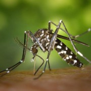 Tiger mosquitos, or aedes albopictus, carry the dengue virus. Source: Wikimedia Commons
