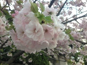 The late blooming yaezakura (八重桜) are the 花見 (hanami) to end Hanami.